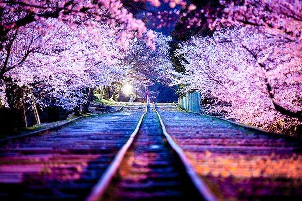 Sakura journey.jpg